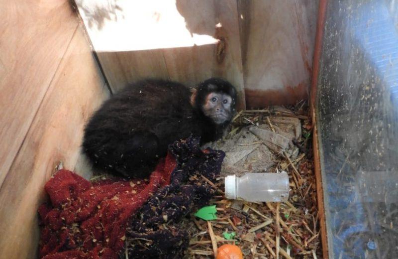 Rescataron a un mono en San Vicente y fue trasladado a Güira Oga