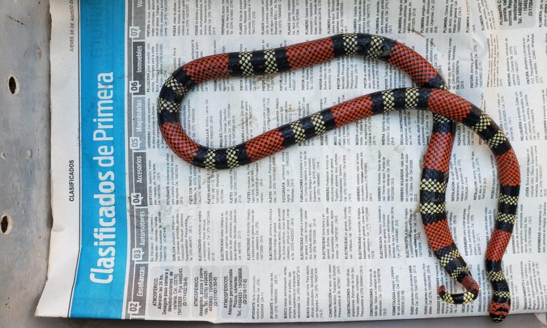 Encontró una serpiente coral en su vivienda