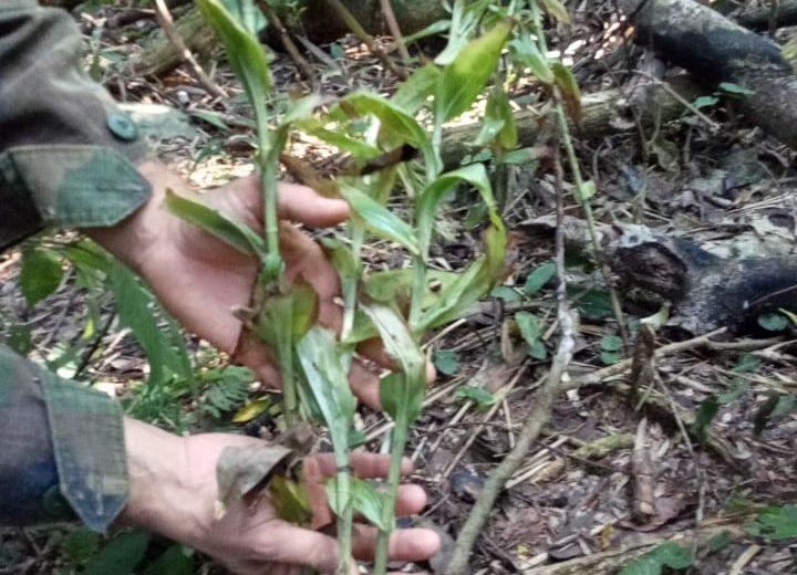Detectaron una nueva especie de orquídea terrestre en el Parque Nacional Iguazú