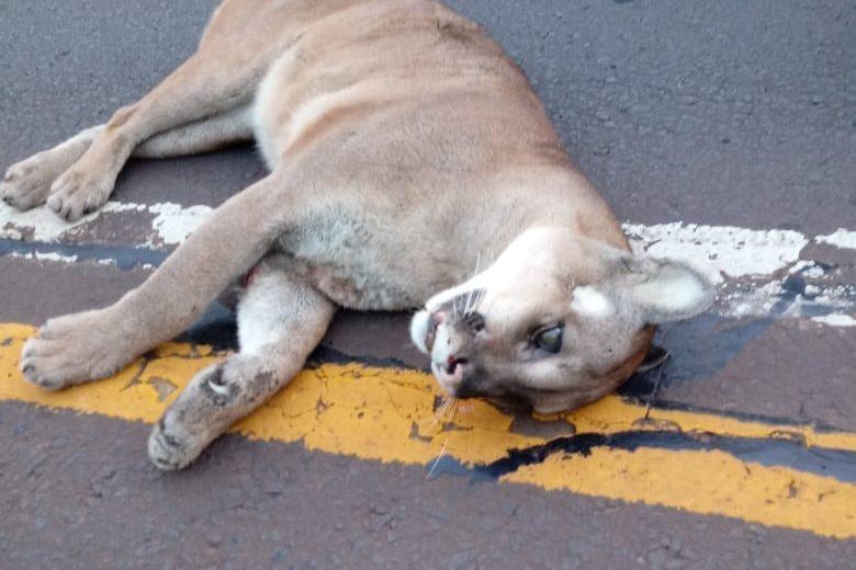 Pasafaunas, reductores y cámaras opciones para evitar el atropellamiento de animales