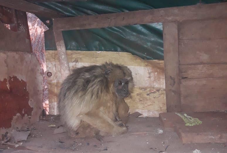 Un mono Carayá que sorprendió a una familia en una casa