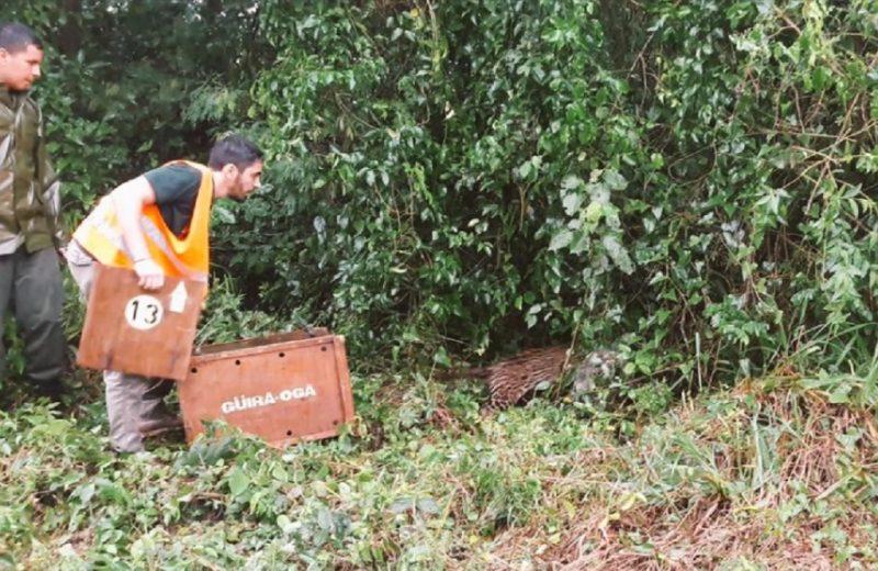 El gato onza atropellado en la ruta 211 volvió a la selva