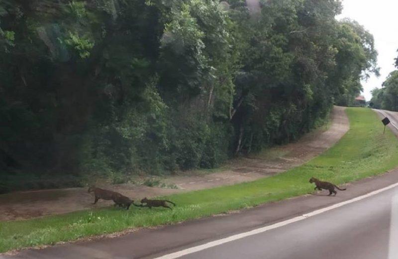 Nuevamente Atalai y sus tres cachorros se dejaron ver