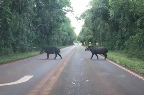 Fotografió a una pareja de tapir cruzando la ruta N° 101