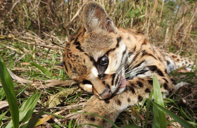 Encontraron un felino atropellado en el acceso a la reserva Mainumby