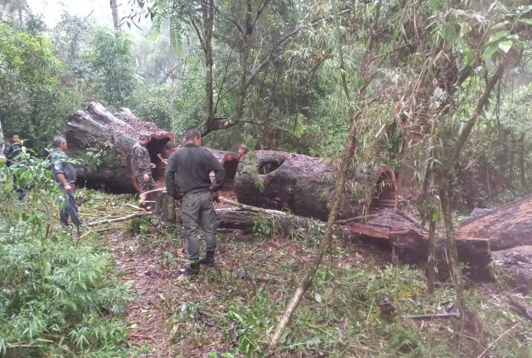 Guardaparques evitan robo de madera en áreas protegidas de la zona norte